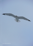 Gull Flight by Mogrianne