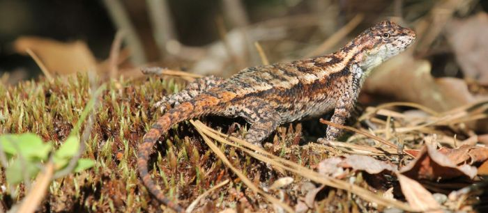 Stock | Eastern Fence Lizard by ShadowsStocks