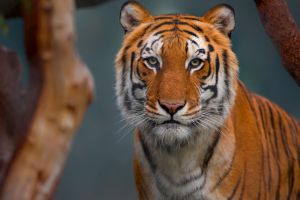 Tiger by LifeCapturedPhoto