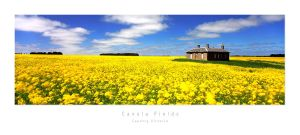 Canola Fields, Victoria by MattLauder