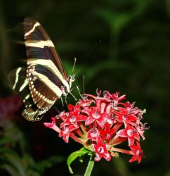 Zebra Butterfly by AndYouThoughtICared