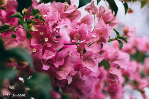 Pink Bougainvillea by freestyle-1love