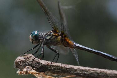 Blue Dasher by based-on-fact