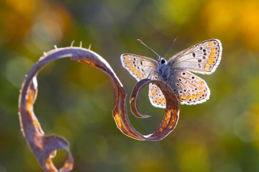 Brown argus by lisans