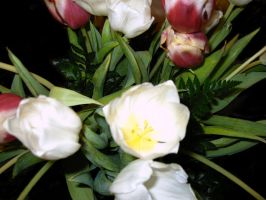 pink and white tulips 2 by tijir