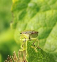 face to face with a green shield bug by clochartist-photo