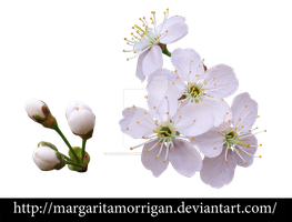 cherry blossoms2 by margarita-morrigan