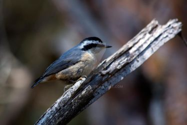 Chickadee by MauserGirl