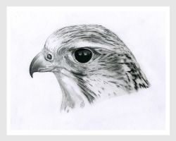 Saker Head by AndyBuck