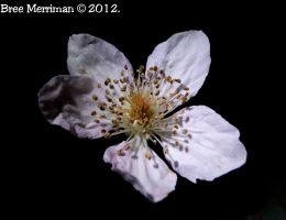 Almond Flower by BreeSpawn