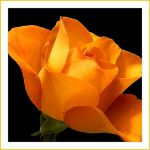 the yellow rose by artin2007