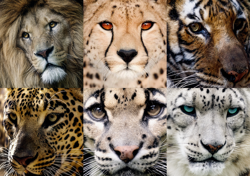 The 6 Big Cats of Asia by Legend-tony980
