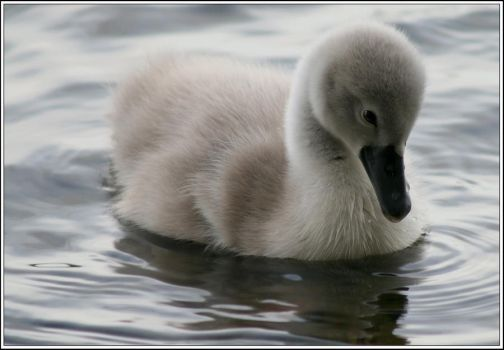 Cygnet by davidbridges