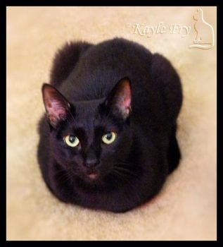 Loaf Cat by Snappy-Cat-Images