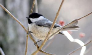 Chickadee IV by JMcCarty09