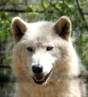 Animals - Arctic Wolf 1 by MoonsongStock
