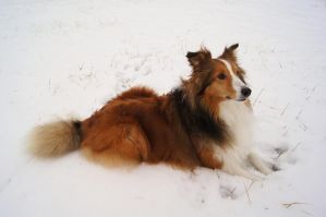 The Noble Sheltie IIII by Chezhnian