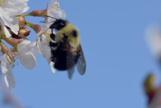 2018 Spring First Sighting, Bee and Blossoms 35 by Miss-Tbones