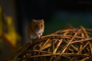 Field Mouse Says Hello by Josh-Media