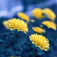 Chrysanthemum.. by gomit