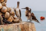 3 Brown Boobies and an Inca Tern by TarJakArt