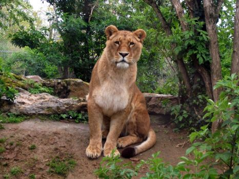 2012 - African lion 28 by Lena-Panthera