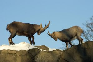 Alpine Ibex - Wrestling or courting? -4of6 by steppeland