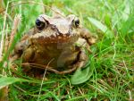 Frog in grass 2 by hedvika30