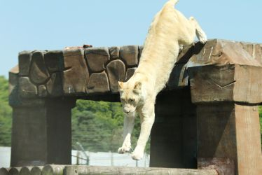 White lioness leap by James-Marsh
