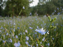 A Chicory                --raw by glasswillow