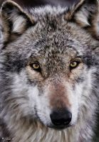 gray wolf by Yair-Leibovich