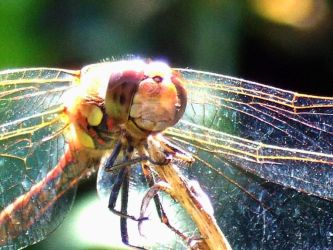 Dragonfly close up by mercurialfox