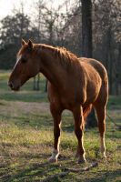 104 Quarter Horse by confused-stock