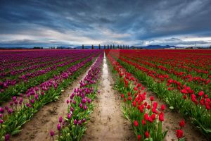 Tulip Field by CNaene