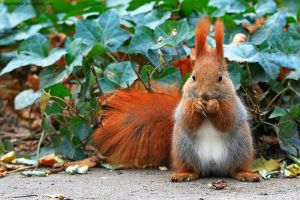 Squirrel On The Ivy by SeaWhisper