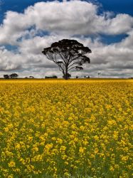 Fields of Gold by FireflyPhotosAust