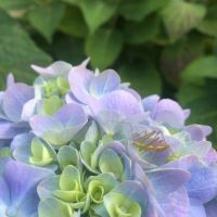 Hydrangea and Bug by IdanCarre
