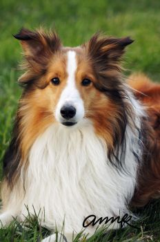 Boomerang the Sheltie by Chezhnian