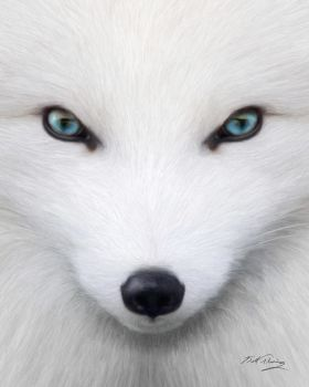 Arctic Fox by KomodoEmpire