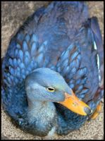 Nesting Duck by mikewilson83