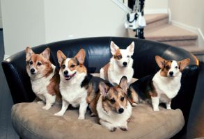 Corgi Nation by tinaheart