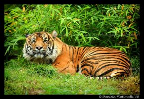 Tiger II by TVD-Photography