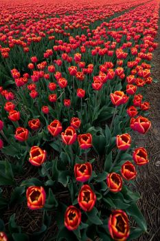 tulips by Perseus67