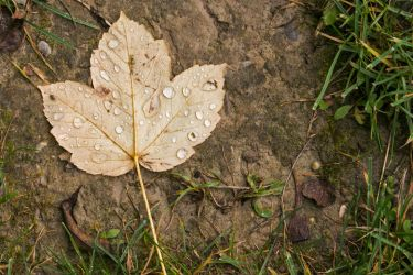 Leaf With Droplets by Willi580