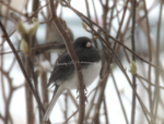 Dark eyed Junco by Serenity12778