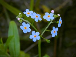 Heart shaped Forget-Me-Not by resh11ka