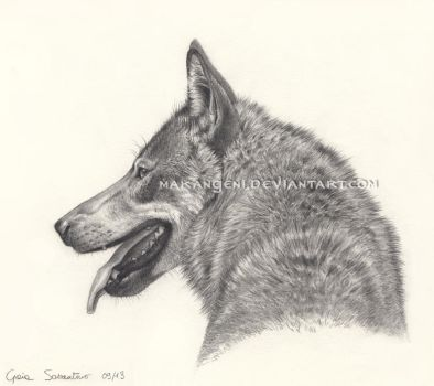 Canis lupus italicus by makangeni