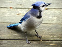 the prettiest bluejay by Lou-in-Canada