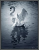 Mute Swan by thermopylae480