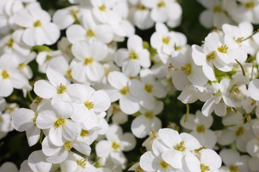 White flowers 5 by SimbaHarley